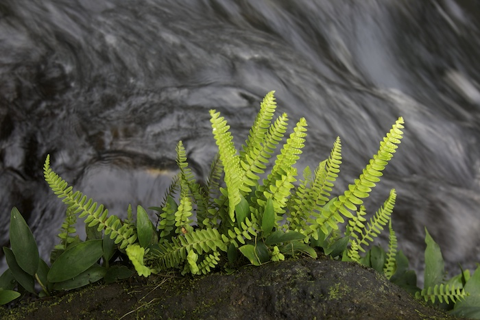 Ferns growing on a rocky outcropping next to a river.