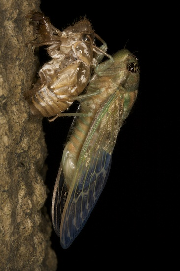 A cicada exits its nymph stage in an example of metamorphosis.