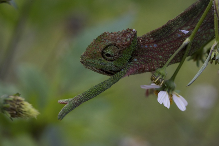 A chameleon from the forest reserve/research station in the middle of the island.