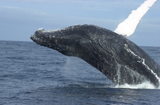 Gabon 2003: Humpback Whales