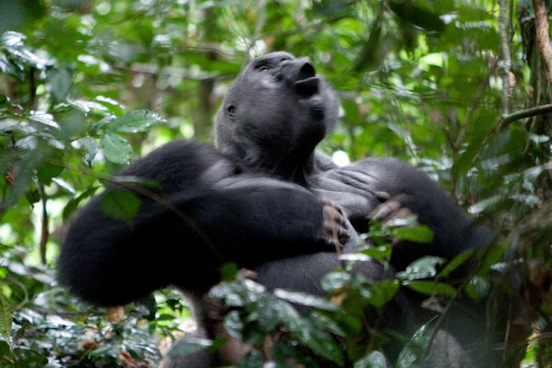 Goualougo Chimps