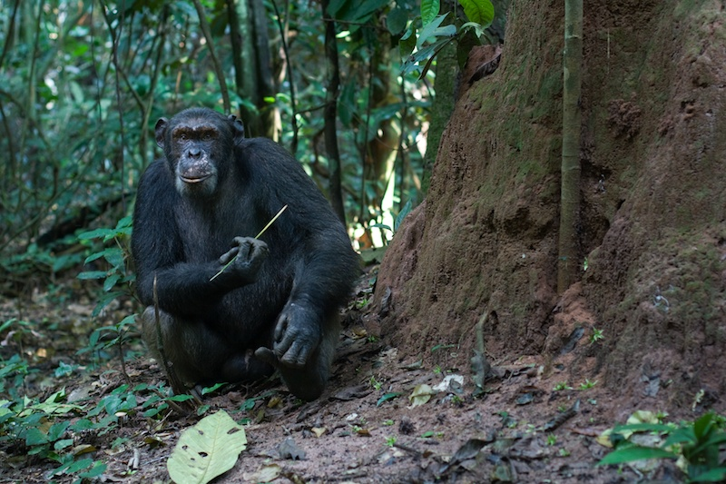 4th trip to goualougo.  Head researchers - dave morgan & crickette sanz.  naive chimpanzee project in ndoki national park in the congo.  work started in 2006.  pygmies are from bomassa and makou.  wcs runs the park.  chimps live in a forest untouched by humans, new culture is being seen in the chimps with multiple tool kits for honey pounding and termite fishing.continuation of camera trap work.  fruit follows are used by the scientists to count animals visiting fruiting trees for ebola - fruit bats are believed to carry the virus and spread it by fruit.    at the above ground termite nests the chimps use specific plants as tools, the same for the underground nests.  encounters with naive chimps from the dede community.  lots of rain and cloudy days.
