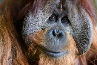 International Orangutan Center: Portraits