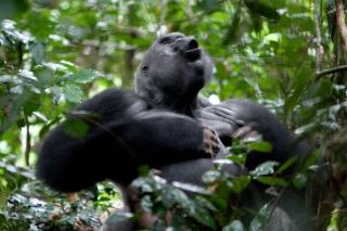 Congo Lowland Gorillas